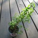 500+ SUN OPENER Seeds Heimia Salicifolia SINICUICHI