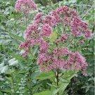 500+ JOE PYE WEED herb seeds Eupatorium Maculatum