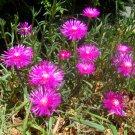 100 Delosperma Cooperi PINK CARPET ICE PLANT seeds