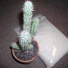 20 Hoodia Gordonii Seeds -African diet Succulent