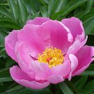 10 CHINESE PEONY FLOWER seeds PAEONIA LACTIFLORA -herb