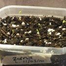 10 Rare Herb SEEDS  *Zornia Latifolia* MACONHA BRAVA