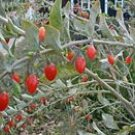 500 TIBETAN GOJI BERRY seeds Wolfberry **SUPERFRUIT** Lycium Chinense