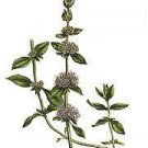 100 PENNYROYAL Mentha Pulegium seeds -Tea herb, stomach