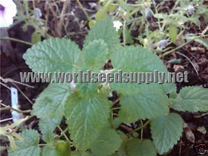 1,500 LEMON BALM SEEDS - Melissa Officinalis