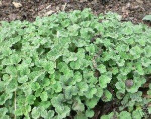100 WHITE HOREHOUND seeds MARRUBIUM VULGARE cough herb