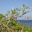 10,000 Artemisia Campestris ssp. Caudata WORMWOOD seeds