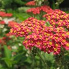 "3,000 RED YARROW- Achillea Millefolium ""Rubra""- HERB SEEDS"