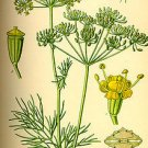 1 oz. DILL SEEDS - Anethum Graveolens - Pickling Herb