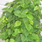 20 Humulus Lupulus- HOPS seeds- BREW your own BEER