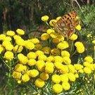 750 - TANSY seeds- Chrysanthemum (Tanacetum) Vulgare