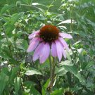 1 oz. Echinacea Purpurea PURPLE CONEFLOWER seeds - Immune Herb