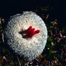 100 Epithelantha Micromeris BUTTON CACTUS seeds