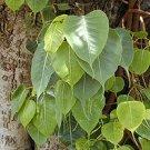 50 Ficus Religiosa BODHI Sacred Fig Tree seeds - BONSAI