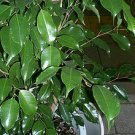 50 Ficus Benjamina WEEPING FIG TREE seeds BONSAI