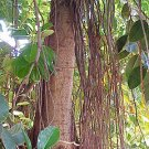 "50 Ficus Elastica ""Decora"" INDIAN RUBBER TREE seeds"