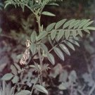 30 Glycyrrhiza Lepidota Wild AMERICAN LICORICE seeds medicinal herb