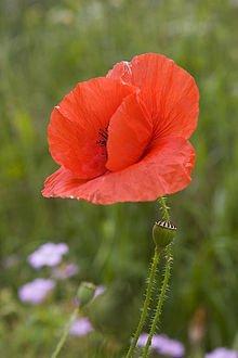 75,000 Papaver Rhoeas RED / CORN/ FLANDERS POPPY seeds