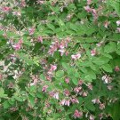 1/8 oz Lespedeza Bicolor Seeds- IMPROVES SOIL! Nitrogen