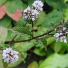 1000 PEPPERMINT SEEDS -mentha piperita- flavoring herb