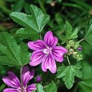 250 MALVA SYLVESTRIS seeds- High Mallow- Herb/ Flower