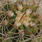 20 TRICHOCEREUS PASACANA cactus Seeds