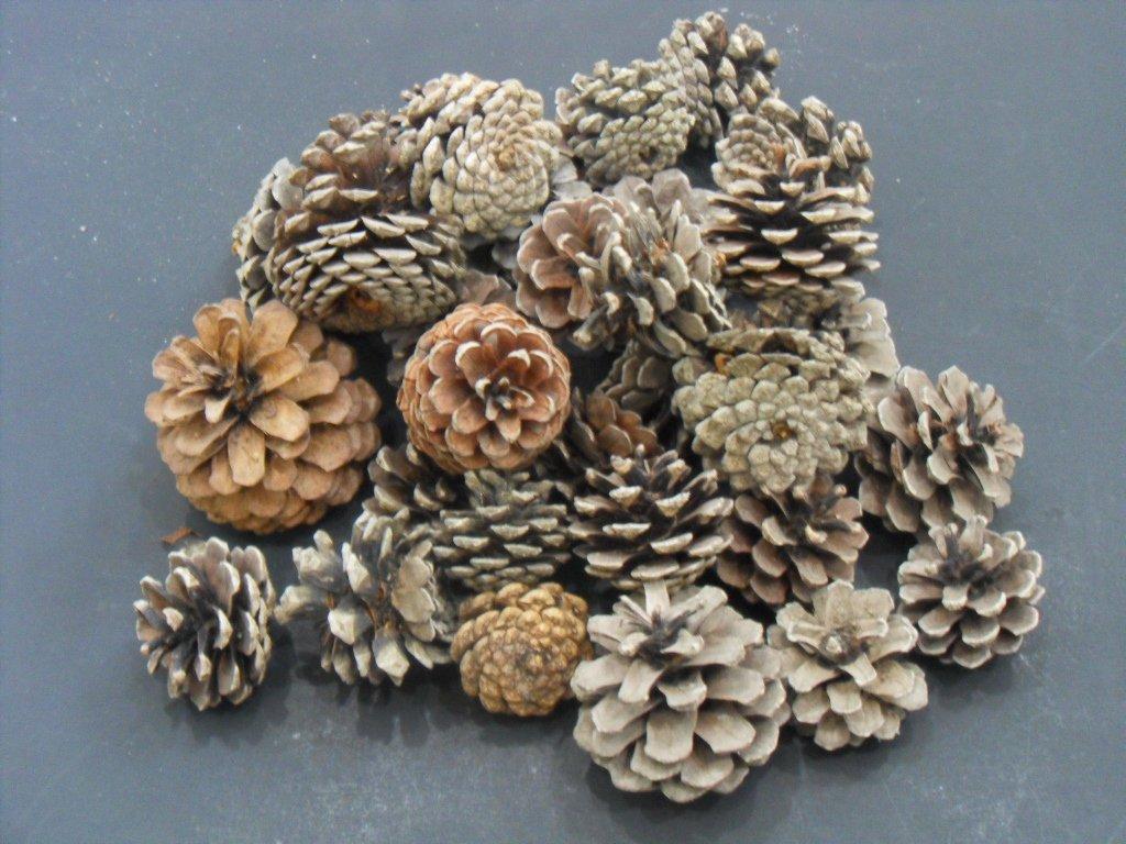 1 2 lb long island pitch pine cones ornamental cone for Long pine cones