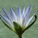 100 Nymphaea Caerulea SACRED EGYPTIAN LILY SEEDS Blue Lotus