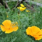 3g CALIFORNIA POPPY seeds - Eschscholzia Californica