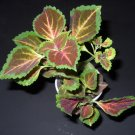 LIVE PLANT **COLEUS BLUMEI** Painted Nettle