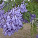 30 JACARANDA MIMOSIFOLIA SEEDS Black Poui Tree
