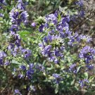 1 oz. Medicago Sativa ALFALFA SEEDS- sprouting legume