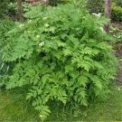 500 CHERVIL SEEDS- aromatic culinary herb PLAIN LEAF