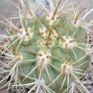 100 Trichocereus Chilensis cactus seeds - chiloensis