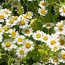 5,000 FEVERFEW Seeds* Multipurpose MEDICINAL herb Tanacetum Parthenium