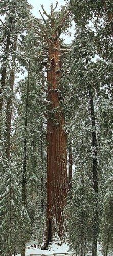 100 GIANT SEQUOIA TREE SEEDS- Sierra Redwood, Sequoiadendron