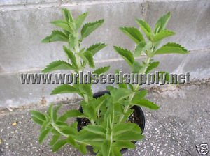 20 STEVIA REBAUDIANA - Sweet Leaf seeds sugar substitute herb