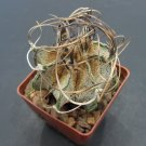 LIVE ASTROPHYTUM CAPRICORNE v SENILE cactus