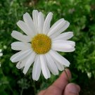 500 TRUE PYRETHRUM SEEDS Natural Pesticide Flower -Tanacetum