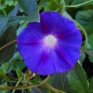1 oz. GRANDPA OTT'S MORNING GLORY SEEDS- Purple Ipomoea Purpurea -Ott