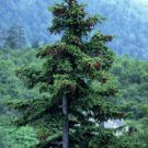 100 JEZO SPRUCE TREE SEEDS- Picea Jezoensis BONSAI Evergreen