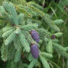 100 PURPLE-CONED SPRUCE TREE SEEDS- Picea Purpurea BONSAI Evergreen