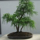 "100 JAPANESE RED CEDAR TREE SEEDS Cryptomeria Japonica ""Sugi"" BONSAI Evergreen"
