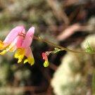 30 Corydalis Sempervirens seeds- ROMAN WORMWOOD, PINK CORYDALIS, ROCK HARLEQUIN