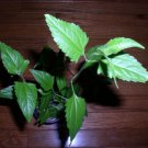 20 CALEA ZACATECHICHI SEEDS- Mexican DREAM HERB 1 Seed Pod- Lucid Dreaming Plant