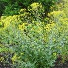 100 seeds ISATIS TINCTORIA Natural Dye *DYER'S WOAD*