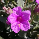 50 Mirabilis Multiflora- COLORADO FOUR O'CLOCK Seeds - wildflower