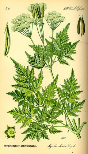 1/8 oz. SWEET CICELY -Myrrhis Odorata seeds -medicinal & culinary herb