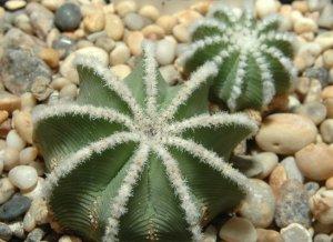 15 AZTEKIUM HINTONII - VERY RARE Ritterii cousin- MEXICAN CACTUS Seeds