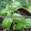 550 *LIME BASIL* seeds Ocimum Americanum (basilicum)